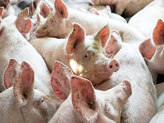 ВСумской области зафиксировали вспышку чумы свиней