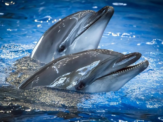 Два дельфина-афалина изПриморского океанариума научились «рисовать» кисточками